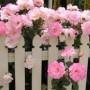 Picket Fence Roses jigsaw puzzle image