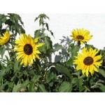Sunflowers jigsaw puzzle image