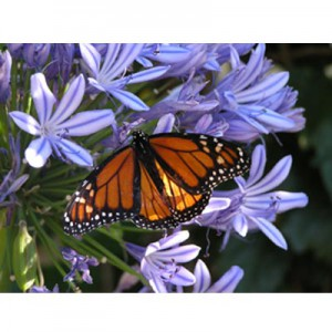 butterfly jigsaw puzzle image