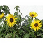 Sunflowers jigsaw puzzle image
